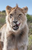 stock photo of veld  - Lioness licking her lips in South Africa - JPG