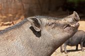 foto of pot bellied pig  - Landscape photograph of a pot - JPG