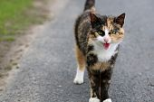 pic of mew  - Very angry brown domestic cat standing on side of road - JPG