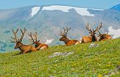 stock photo of rocky-mountains  - Gang of Elks in Colorado - JPG