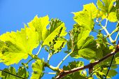 picture of vines  - Vine branch on beautiful blue sky - JPG