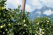 stock photo of south tyrol  - green apples before the mountain Mutspitz in the Texel Group in South Tyrol - JPG