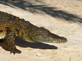image of crocodile  - Crocodiles  - JPG
