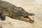 stock photo of crocodiles  - Crocodiles  - JPG