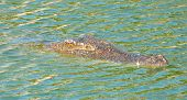 pic of crocodiles  - Crocodiles  - JPG