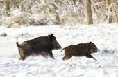 stock photo of boar  - Wild boars running away on snow in forest