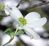 picture of dogwood  - A single dogwood blossom against a blurred background - JPG