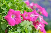 pic of petunia  - Petunia or Petunia Hybrida Vilm in the garden or nature park - JPG