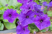 stock photo of petunia  - Violet Petunia or Petunia Hybrida Vilm in the garden or nature park - JPG