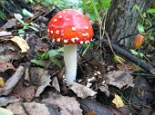 stock photo of toadstools  - There are toadstool and dry leaves in autumn forest  - JPG
