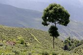 pic of darjeeling  - Tree - JPG