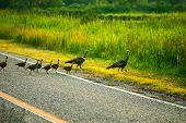stock photo of wild turkey  - Wild turkey family are walking on the countryside - JPG
