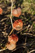 picture of bladders  - Bladder cherry in bright orange to red papery covering over its fruit which resemble paper lanterns - JPG
