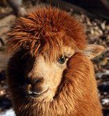 stock photo of alpaca  - One alpacas in the farm - JPG