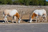 picture of antelope horn  - Two Scimitar horned oryx antelopes also known as the Sahara oryx in safari park - JPG