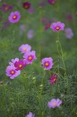 picture of cosmos  - Cosmos (Cosmos bipinnatus) is an annual and perennial plant in the family Asteraceae native to scrub and meadow areas in Americas. They are herbaceous perennial plants.