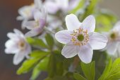 picture of windflowers  - Group of back lit wood anemone short depth of focus Latin name - JPG