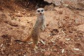 pic of meerkats  - Meerkats  - JPG