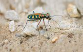 pic of mandible  - Extreme Closeup of a Brightly Colored Iridescent Tiger Beetle in the Wild standing on its long spindly legs in the sun - JPG
