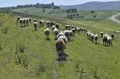 picture of herd  - small group of black and white sheep follow the leader of the herd to graze - JPG