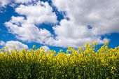 image of rape  - Rape seed field set against the blue cloudy sky. Low position of view looking upwards.