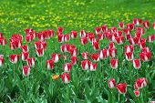 picture of armenia  - Beautiful red tulips in spring garden - JPG
