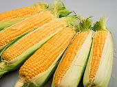 picture of corn  - Raw sweet corn shot over gray background - JPG