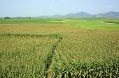 picture of maize  - Viietnamese agricultural field at Daklak Vietnam vast maize field intercrop with paddy plant good crop on plantation - JPG
