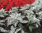 foto of begonias  - Jacobeae maritima - JPG