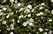 picture of creeping  - White creeping flowers with green leafs on flower bed - JPG