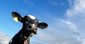 stock photo of calf  - Head of the calf against the sky - JPG
