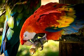 pic of green-winged macaw  - Red and green macaw pecking a branch - JPG