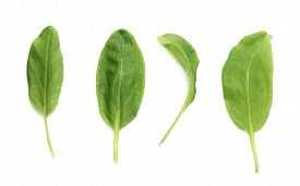 picture of sorrel  - Multiple single green polygonaceae sorrel spinach dock herb leaves isolated over the white background - JPG