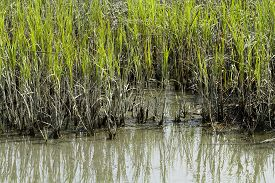 stock photo of inlet  - The edge of a bunch of smooth cordgrass and mud in the brackish water coastal area in Murrells Inlet South Carolina - JPG