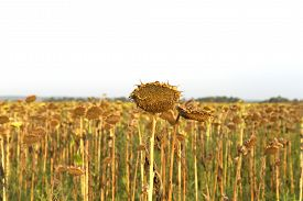 picture of drought  - ried sunflowers during the long drought. Lost crop of sunflowers.