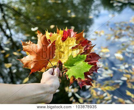 Bouquet Of  Multicolor Autumn Leaves