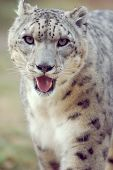 stock photo of panthera uncia  - a snow leopard stalks around its enclosure in a zoo - JPG