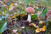 stock photo of shroom  - Red Amanita Muscaria mushroom aka fly agaric - JPG