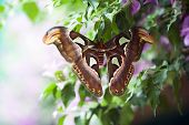 Постер, плакат: Attacus Atlas Moth