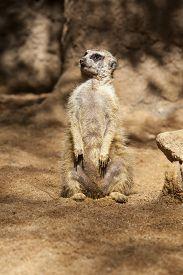 picture of meerkats  - Portrait of meerkat on sand or Suricata suricatta - JPG