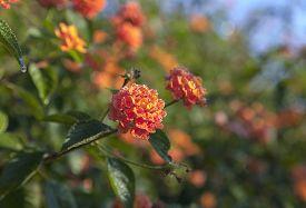 stock photo of lantana  - Beautiful orange color Lantana flowers in the garden - JPG
