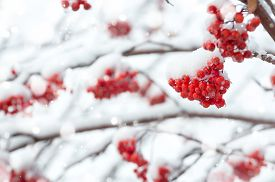 image of mountain-ash  - Winter background with a snow - JPG