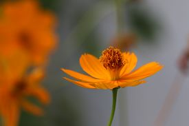 stock photo of cosmos flowers  - Orange cosmos flowers - JPG