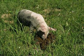 stock photo of feces  - Dirty small pig looking in feces in green grass - JPG