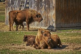 image of female buffalo  - Tranquil European bison (Bison bonasus) females and their calves resting in the sun in an enclosure of a nature reserve in Vama Buzaului Brasov Romania.