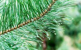 stock photo of pine-needle  - Water drops on pine needles Ukraine - JPG