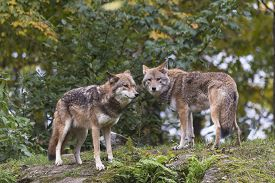 stock photo of coyote  - A pair of coyotes in the fall season - JPG