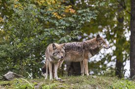 pic of coyote  - A pair of coyotes in the fall season - JPG