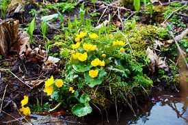 picture of buttercup  - Yellow buttercup flowers Ranunculus. in the meadow. the stream. ** Note: Soft Focus at 100%, best at smaller sizes - JPG