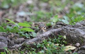 picture of chipmunks  - Chipmunk looking at the camera from behind a tree root - JPG